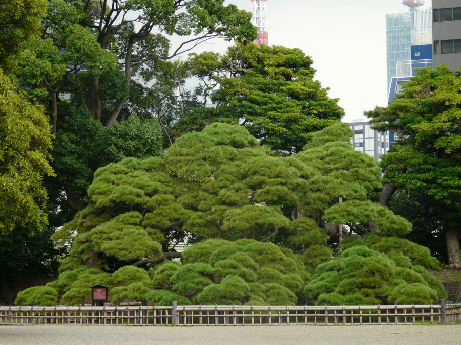 The oldest pine in Japan
