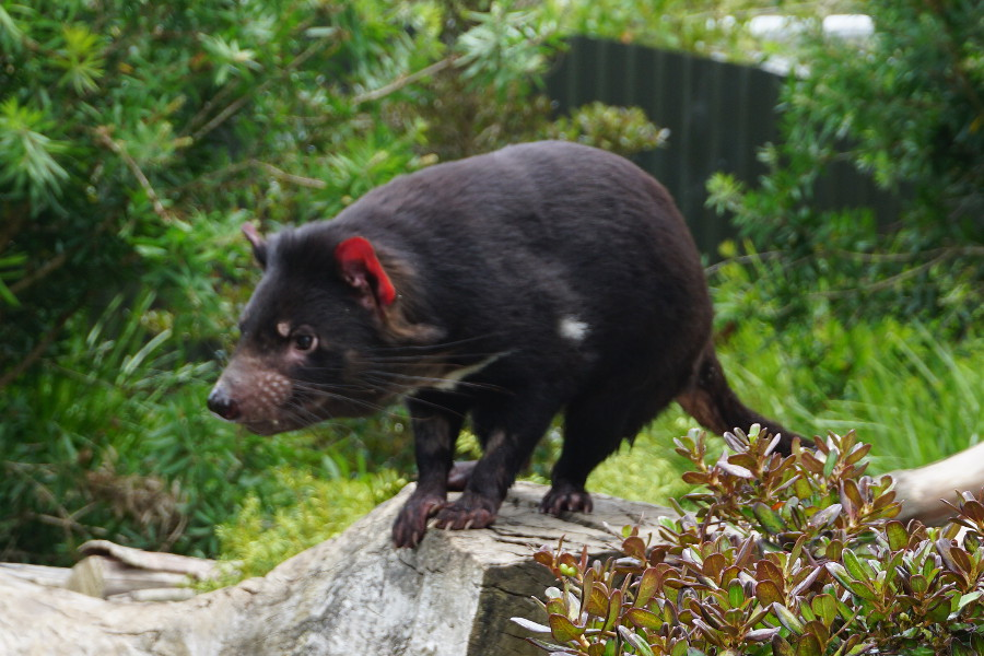 Diabeł tasmański w Nowej Zelandii