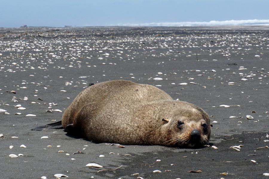Lew morski Nowa Zelandia