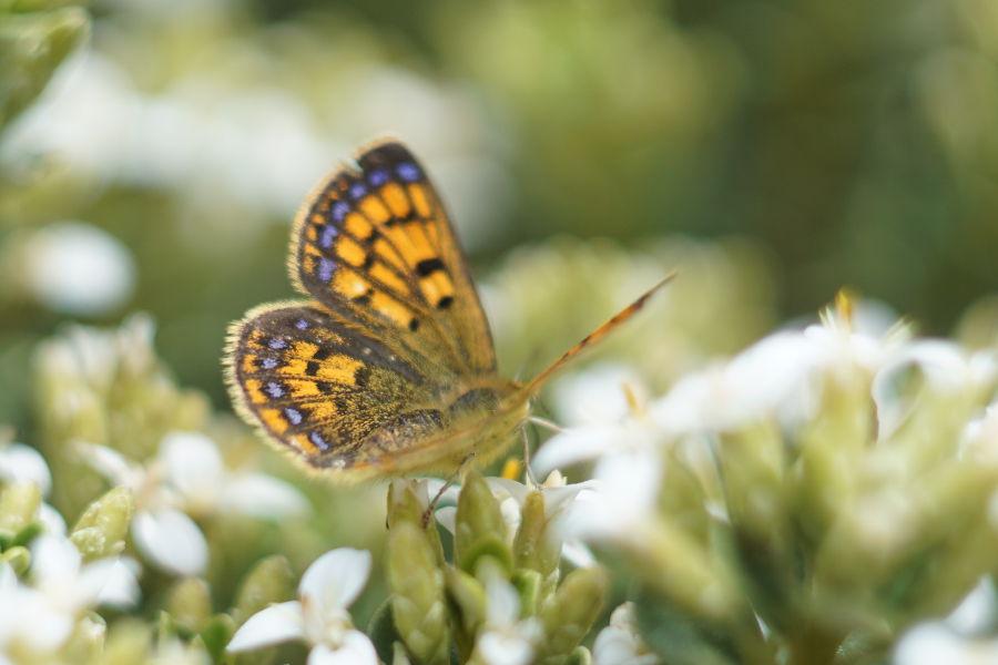 Motyle Nowej Zelandii