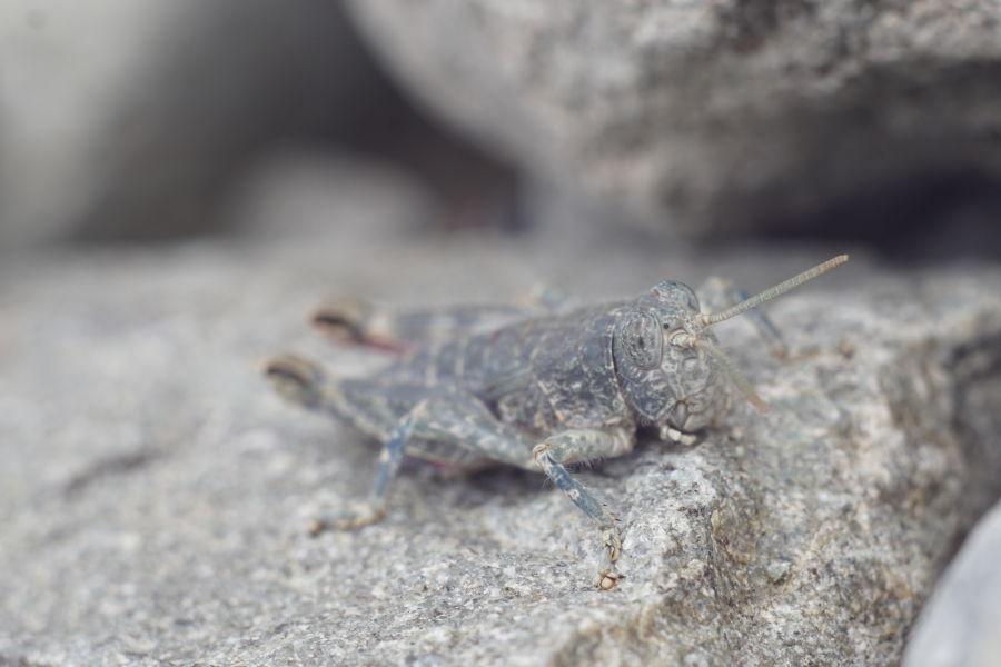 Pasikonik zlewający się z kamieniem