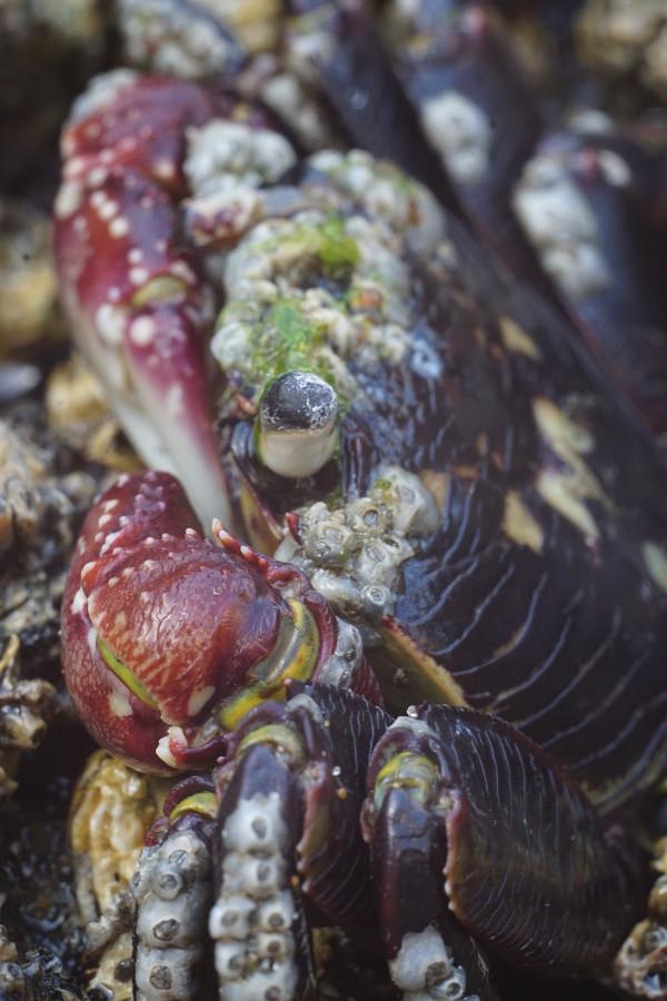 Czujny krab