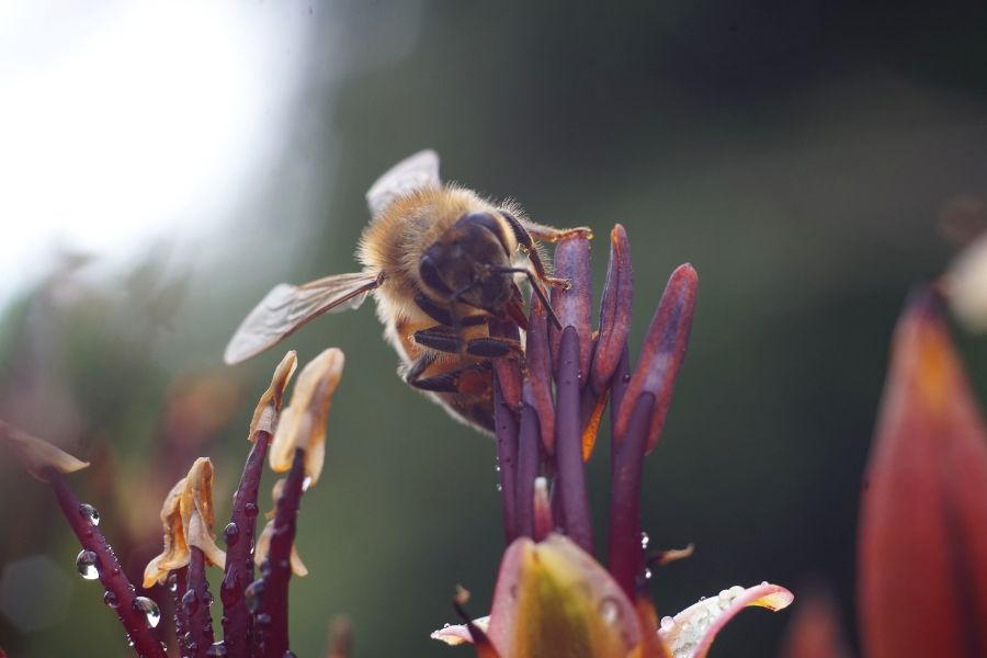 Nowozelandzkie pszczoły