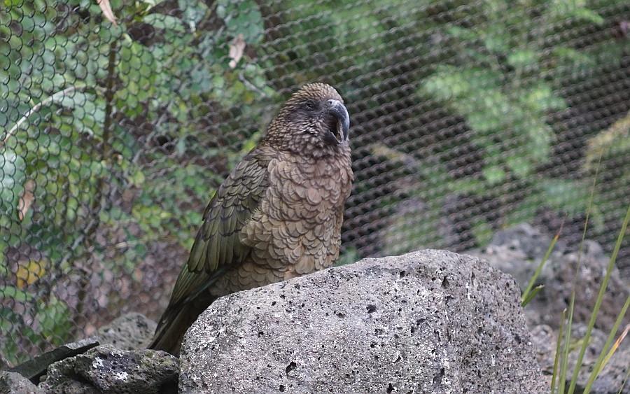 Znudzona Kea w Zoo w Auckland