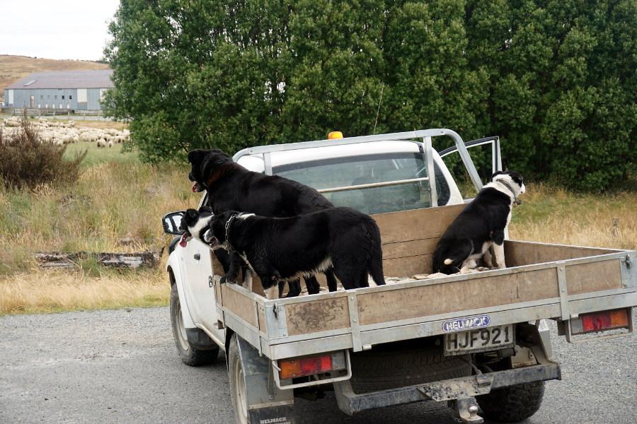 Korki z owiec