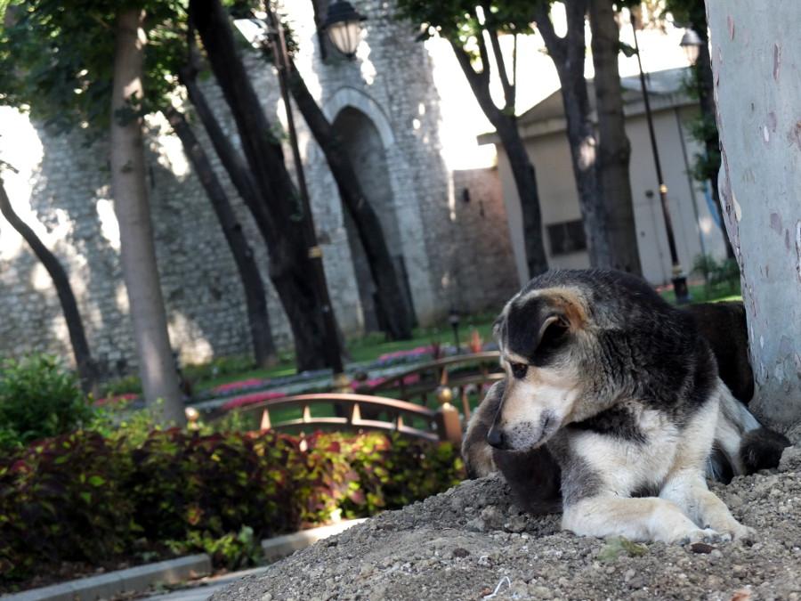 Psy w Turcji