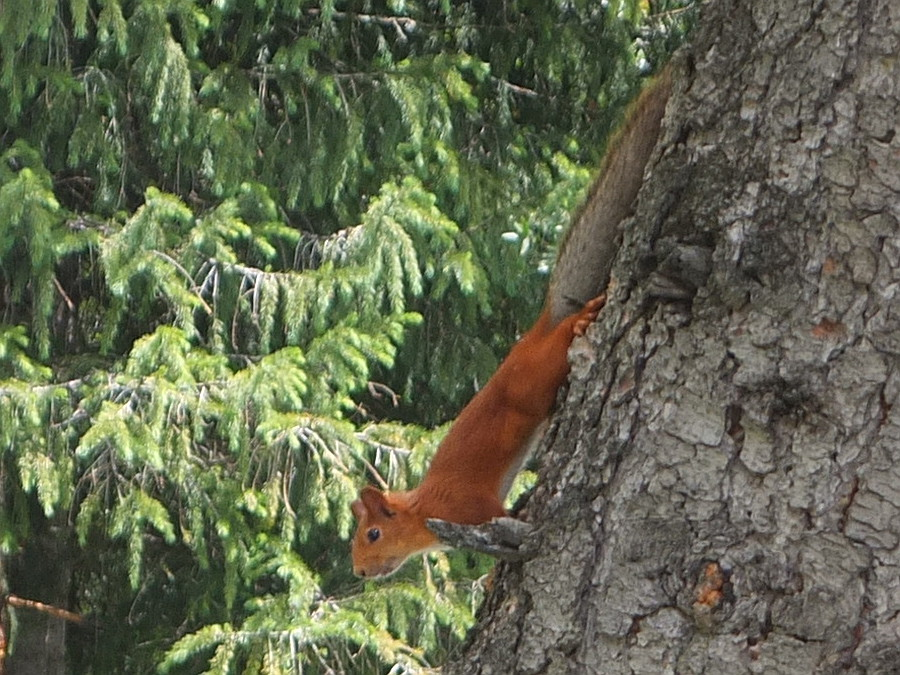 Kirgiska wiewiórka